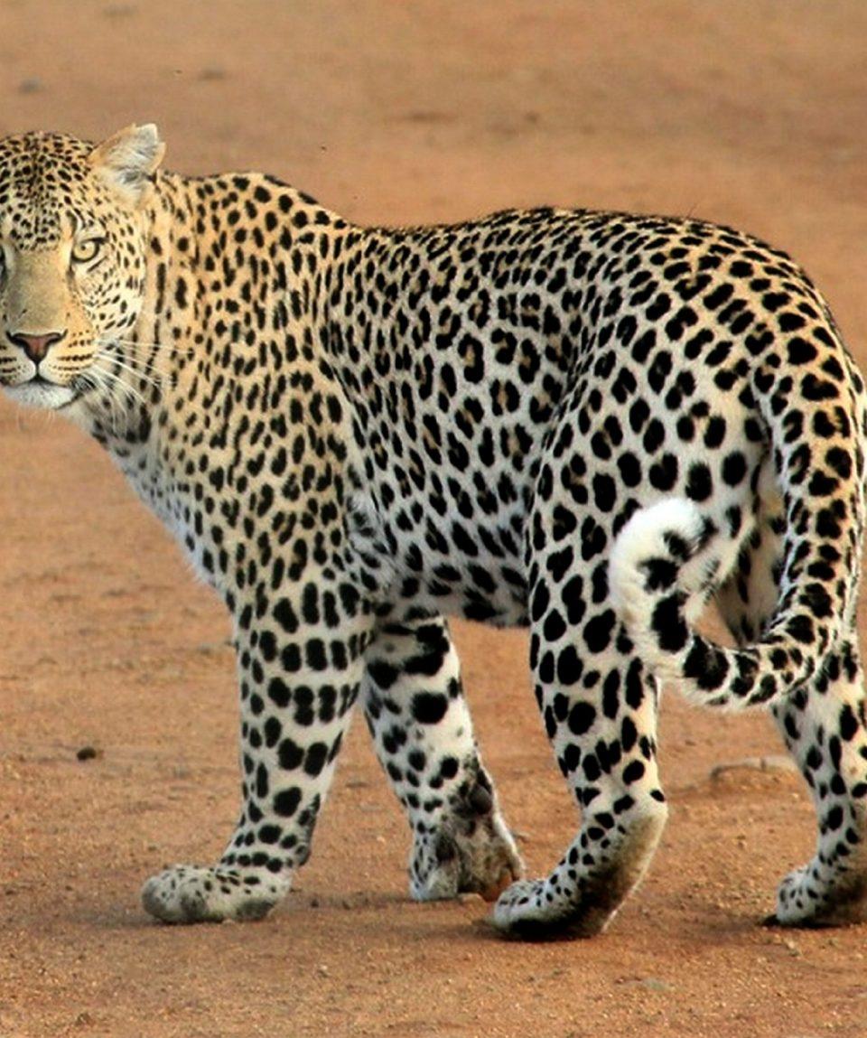 leopard-592187_1920