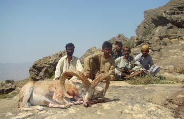 Pakistan Blanford Urial