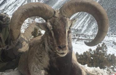 Pakistan Blue Sheep