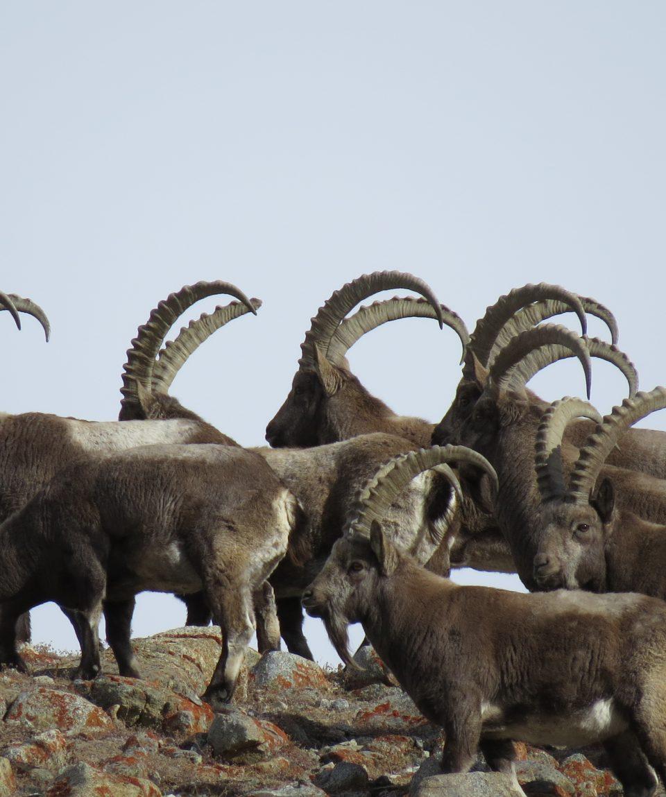 Pakistan Himalayan Ibex