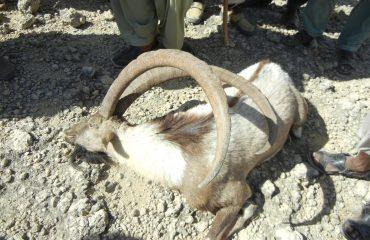 Pakistan Sind Ibex