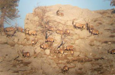 Turquie-Ibex